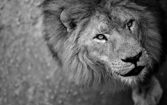 Leão (Crédito: Reprodução/Pixabay  )