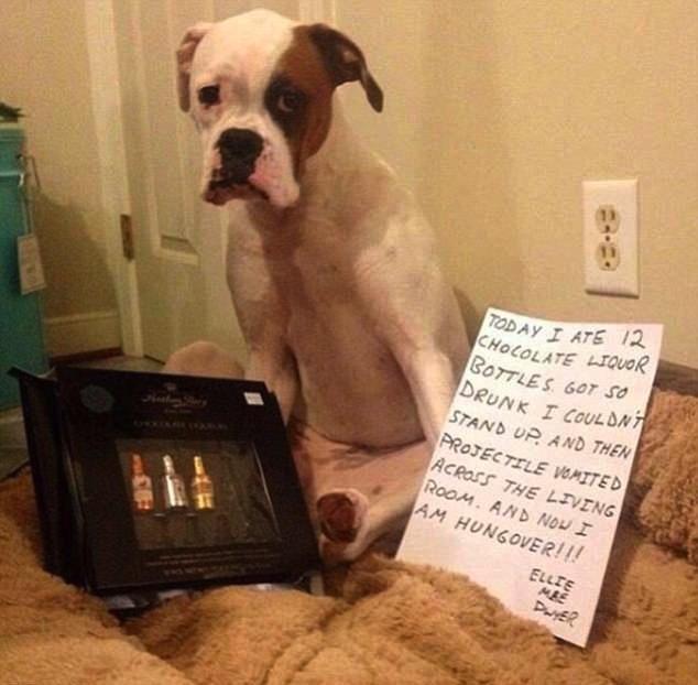 Cão come bombons de licor, fica bêbada e foto de ressaca viraliza