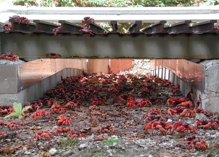 Estradas são evacuadas para 'batalhão' de caranguejos-vermelhos (Crédito: Reprodução/Twitter(CrustaceanCompassion) )