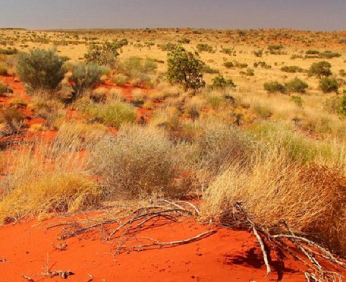 Arbusto típico da Austrália  (Crédito: Reprodução)