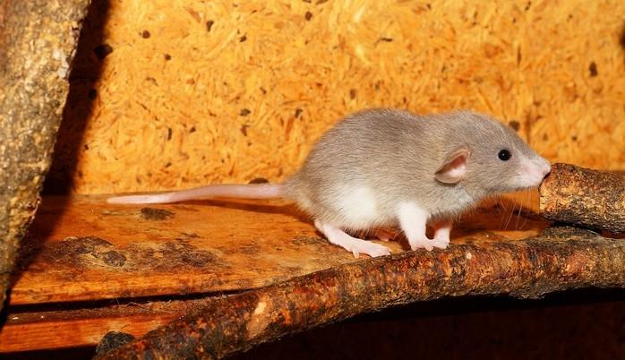 Ratos voltaram a andar e recuperaram a sensibilidade (Crédito: Reprodução)