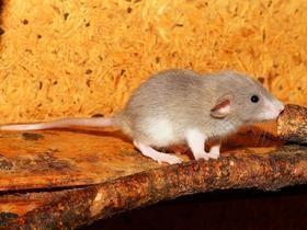 Ratos paraplégicos andam após tratamento com células-tronco