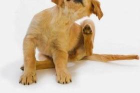 Coisa de Bicho: Doença do carrapato em cães e gatos