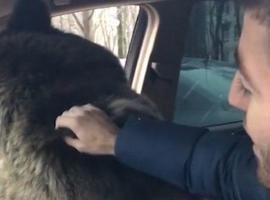 Homem coloca grande urso pardo em carro para 'passear'