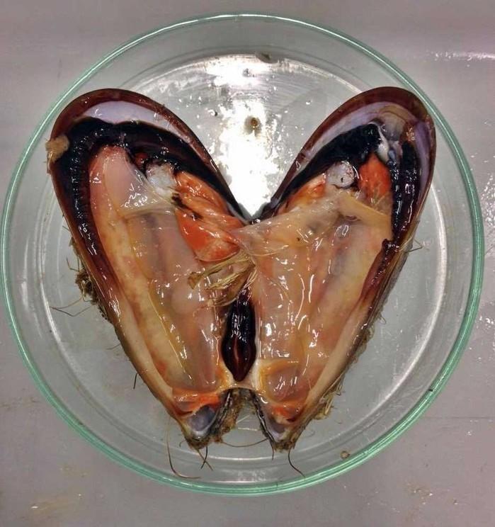 Mexilhão aberto para retirada de órgãos para análises químicas e bioquímicas (Crédito: Arquivo Pessoal)