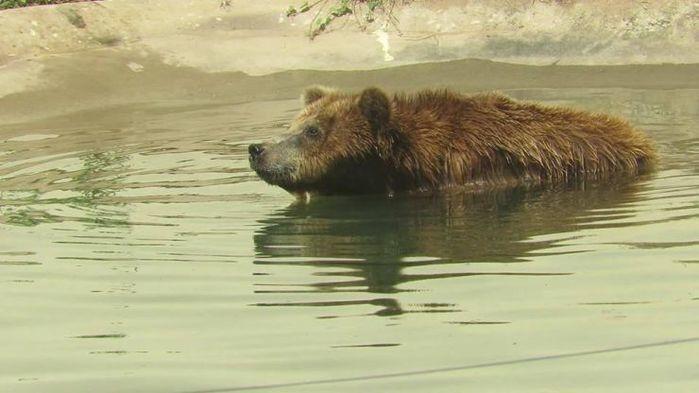 Marsha foi levada ao Zoobotânico, em 2011, após ser resgatada de circo em Belém, no Pará  (Crédito: divulgação/SEMAR)
