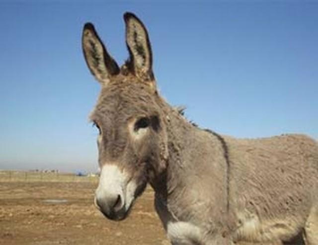 Um dos burros que ficou uma semana 'atrás das grades' (Crédito: Reuters)
