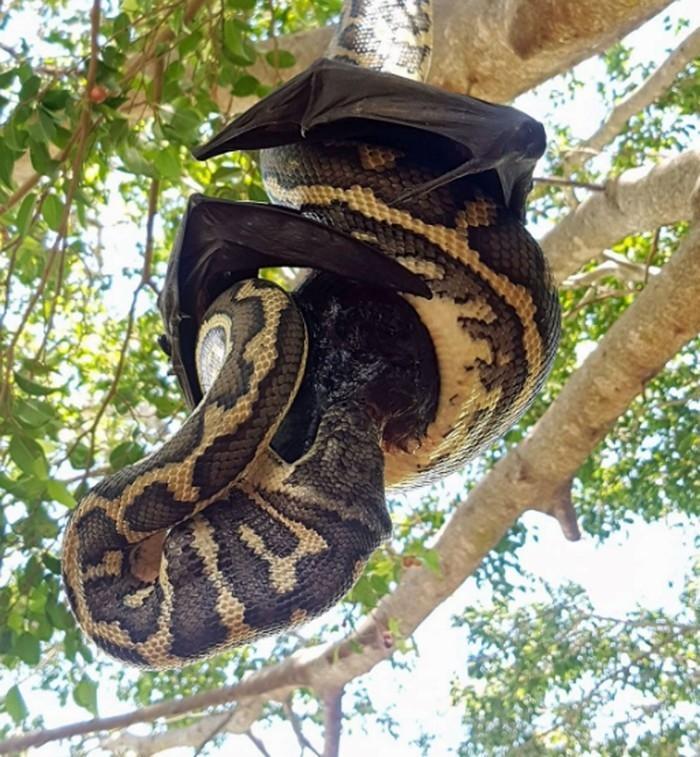 (Crédito: Reprodução/Facebook/Redland's Snake Catcher)