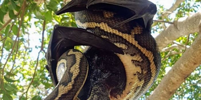 Cobra píton não consegue devorar morcego em árvore; veja fotos!