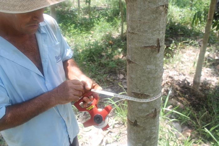 Plantio de mogno africano (Crédito: Arquivo pessoal)