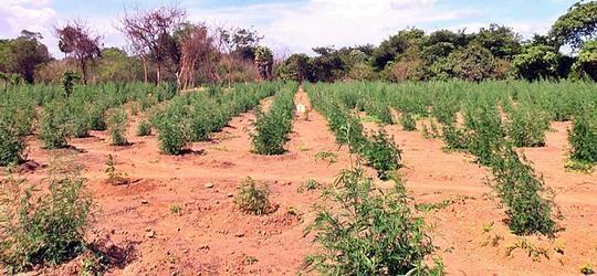 PM encontra plantação de maconha no litoral do Piauí