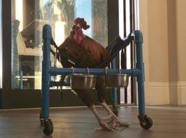 Galo ferido usa cadeira de rodas para reaprender a andar