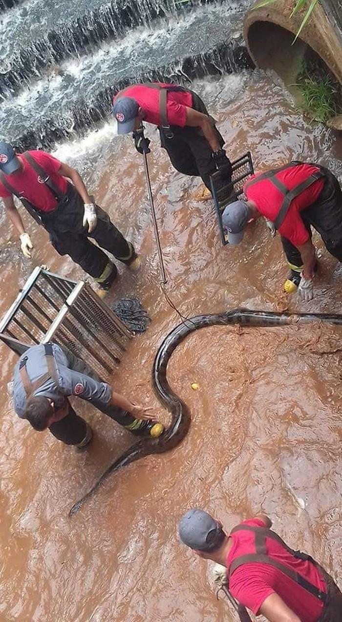 Sucuri de cinco metros é encontrada em córrego no interior de SP