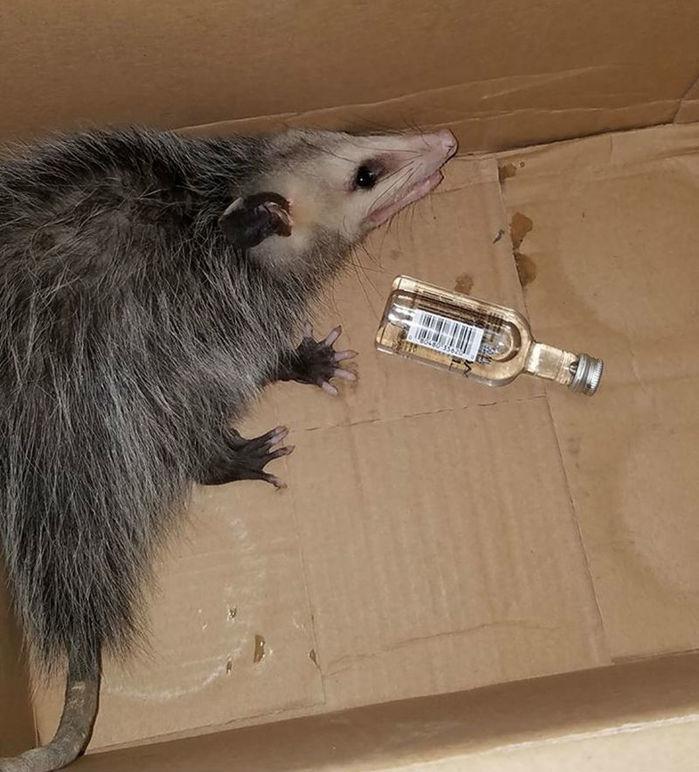 Gambá invade loja de bebidas na Flórida e se embriaga de bourbon (Crédito: Reprodução )