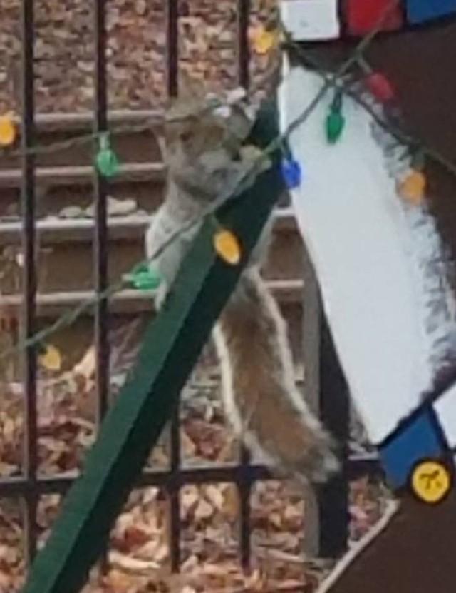 Esquilo flagrado destruindo decoração de Natal nos EUA (Crédito: Facebook)