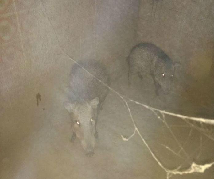 """Animais resgatados durante a """"Operação Ártemis""""  (Crédito: Divulgação)"""