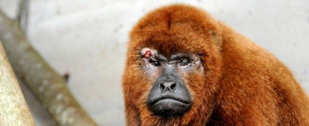 Em meio a surto de febre amarela, macaco é atacado com facão