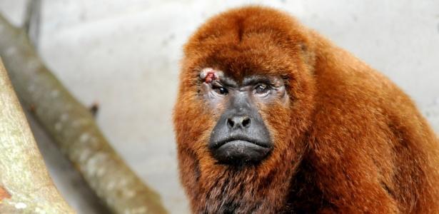 Bugio-ruivo se recupera no zoológico de Gramado (Crédito: Reprodução)