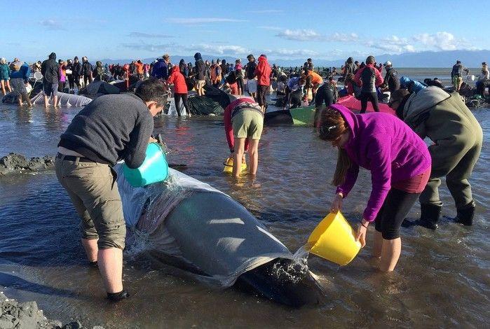 Cerca de 300 baleias morreram numa praia da Nova Zelândia