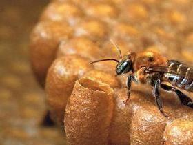 Toda abelha tem ferrão?