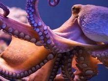 """Cada tentáculo de um polvo tem sua própria """"mente"""", diz pesquisador"""
