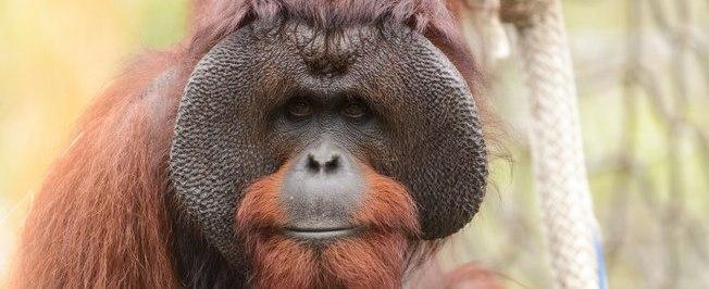 Homens podem pegar condenação de 5 anos por matarem orangotango