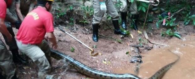 Cobra sucuri de 6 metros é capturada perto de condomínio em Goiás