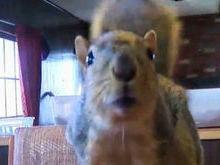 Esquilo vira herói após atacar ladrão e impedir roubo de casa