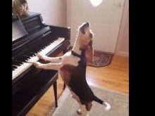 Cachorro tocando piano e cantando viraliza nas redes sociais