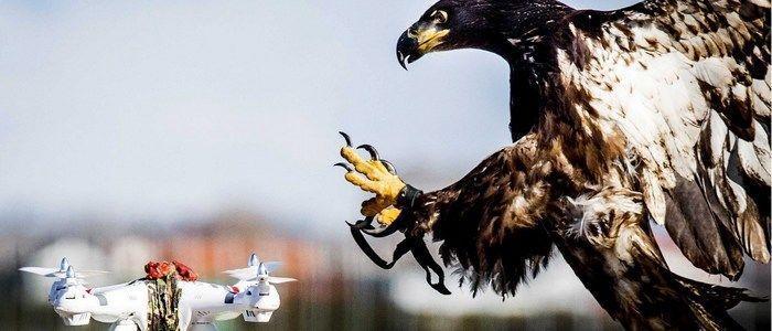 Águia usada para abater drones (Crédito: Reprodução)