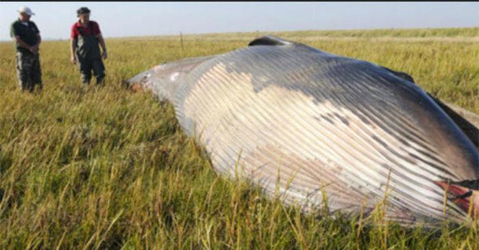 Restos de baleia de 12 metros é éncontrado em uma fazenda nos EUA