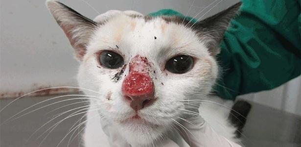 Gato infectado  (Crédito: Reprodução)