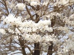 Ipê Branco: O Mistério da Flor