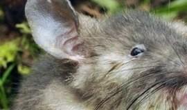 Ratos teriam comido 25kg de maconha e polícia investiga sumiço