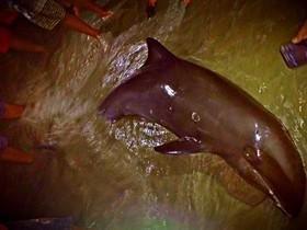 Golfinho socorrido após encalhe, morre antes de retornar ao mar!
