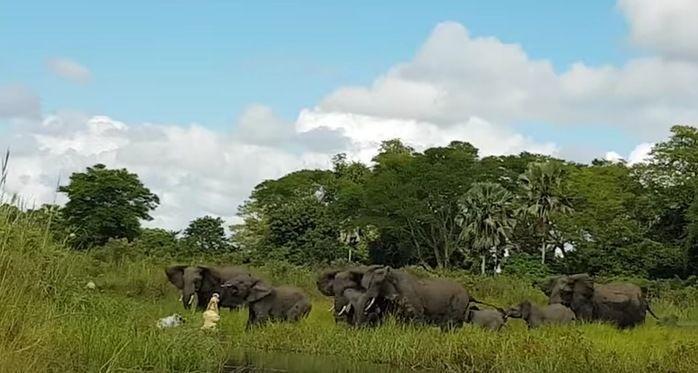 Vídeo mostra momento em que crocodilo morde tromba de elefante
