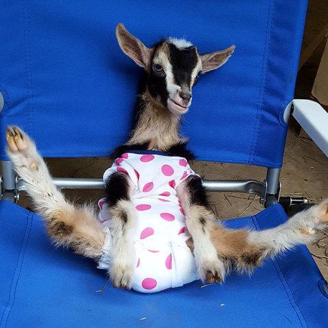 Cabra que sofre de ansiedade fica calma usando fantasia de pato