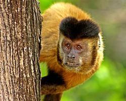 INCRÍVEL: Macacos escultores vivem na Serra de Campo Maior