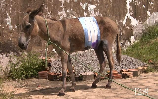 Jumento é esfaqueado no Maranhão (Crédito: Reprodução)