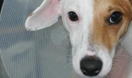 Cadela passa por cirurgia de mudança de sexo para virar cachorro