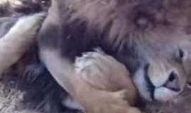 Irmãos leões resgatados de circos se abraçam em reencontro