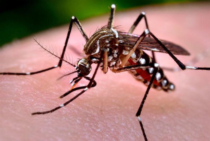 aedes aegypti, mosquito causador da dengue (Crédito: Reprodução)