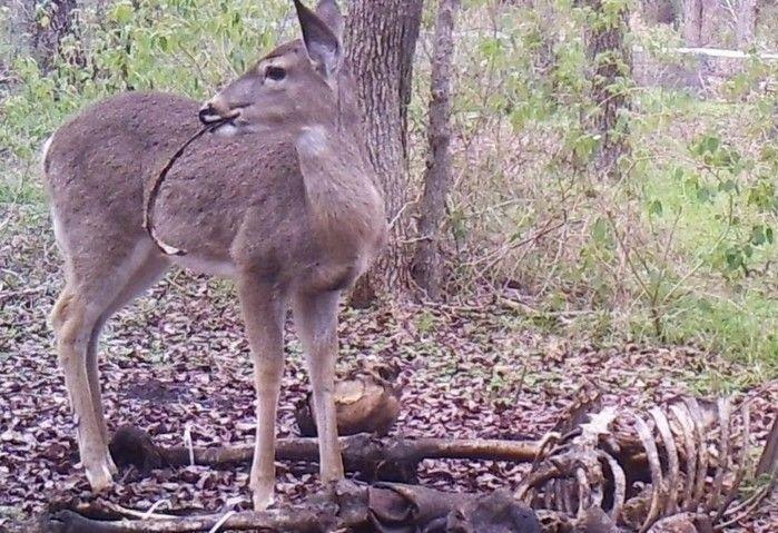 Veado é visto revirando restos de carne humana em floresta