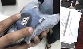 """Polícia captura pombo com """"mochila"""" cheia de drogas"""