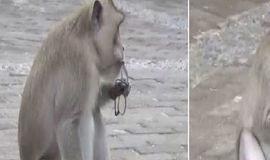 Macacos roubam objetos de turistas e ainda 'pedem resgate'