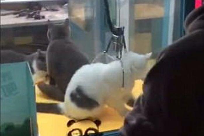 Gatos vivos são colocados dentro de máquina com garras em pet shop