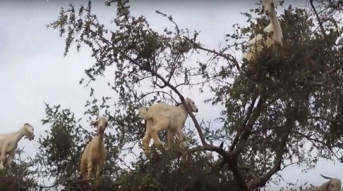 Cabras em cima de uma árvore no Marrocos  (Crédito: Reprodução)