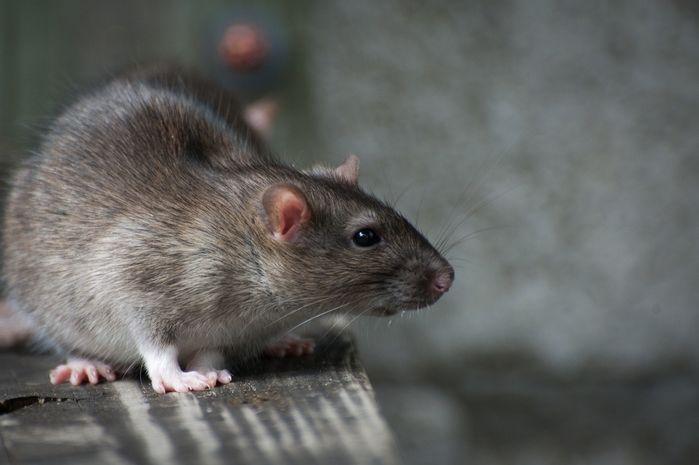 Pulgas de ratos podem transmitir a doença (Crédito: Reprodução)