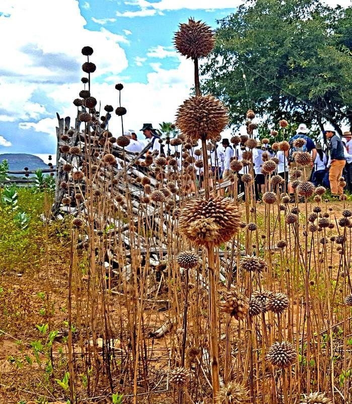 Cordão de São Francisco, planta medicinal da caatinga, presente no cenário do Canyon do Rio Poti. (Crédito: Alcide Filho)