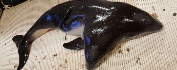 Pescadores encontram toninha com 2 cabeças no litoral da Holanda
